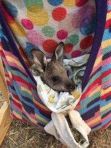 Verletzte Tiere oder Jungtiere, die ihre Mutter verloren haben, finden in den Beuteln Zuschlupf