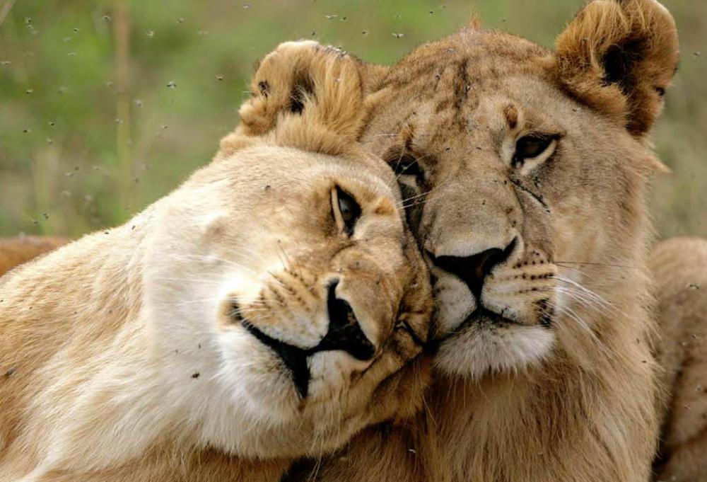 löwen töten menschen